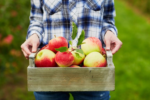 apple picking ma
