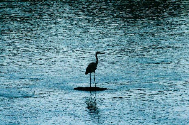 Blue Water Bird in the Berkshires