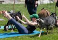 Goat Yoga At Hancock Shaker Village