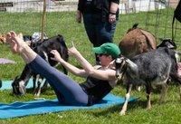 Goat Yoga At Hancock Shaker Village